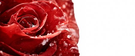 Red rose with flakes of snow