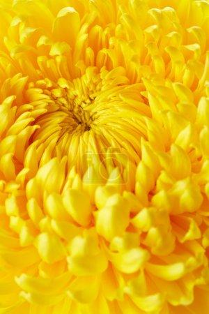 Photo for Beautiful yellow chrysanthemum background - Royalty Free Image