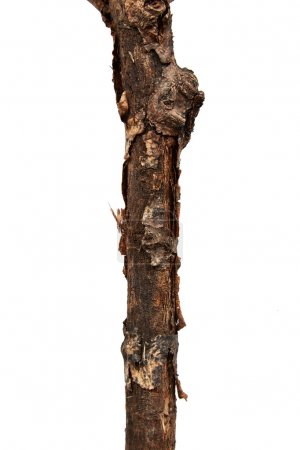 Photo pour Branche d'arbre isolée sur fond blanc - image libre de droit