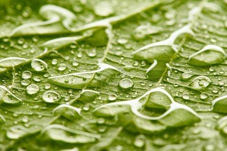 Photo pour Texture de feuilles vertes avec des gouttes d'eau - image libre de droit