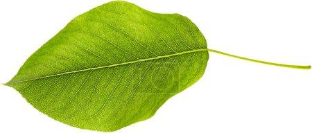 Photo pour Feuille verte isolée sur fond blanc. Contexte naturel - image libre de droit