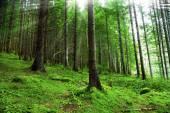 Green fir tree forest