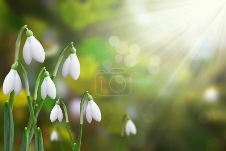 Photo for Beautiful snowdrops shining in the sun - Royalty Free Image