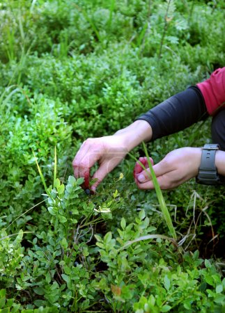 Photo for Women picking up fresh  blueberries - Royalty Free Image