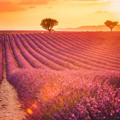 Wonderful nature landscape, amazing sunset scenery with blooming lavender flowers. Moody sky, pastel colors on bright landscape view. Floral panoramic meadow nature in lines with trees and horizon. Amazing nature background, romance, idyllic