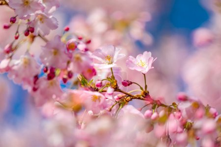 Photo for Spring Cherry blossoms, pink flowers. Beautiful cherry blossom sakura in spring time over blue sky. Dream nature closeup, pink purple blurred spring flowers, sunny sunset scene. Beauty in nature, seasonal springtime floral backdrop. - Royalty Free Image