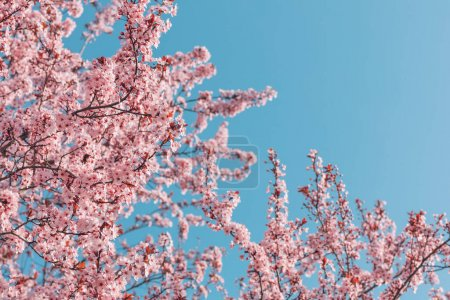 Photo for Spring nature, spring blossom and April floral nature on bright blue sky background. Branches of blossoming apricot cherry with soft focus blurred view. Spring romance and Easter template and spring greeting cards with copy space. Springtime nature - Royalty Free Image
