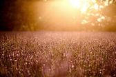 Sunset over summer lavender field