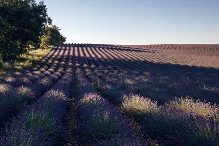Lavender flower blooming fields