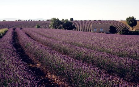 Feelds of blooming lavander