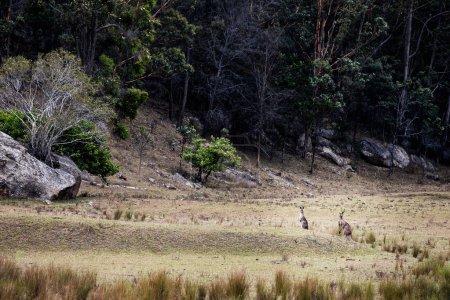 Group of australian kangaroos