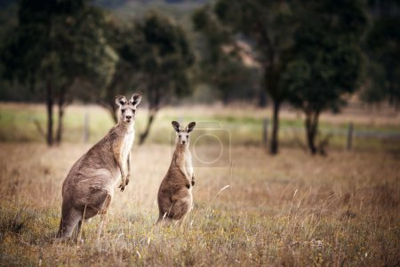 Group of australian kangaroos