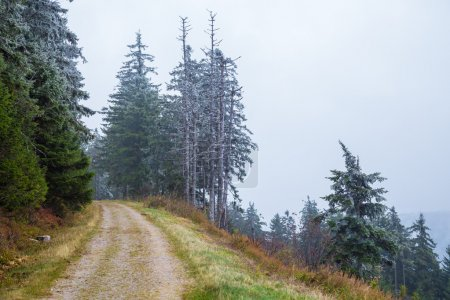 Melting snow on fir trees, mountain road