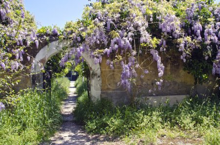 Old wisteria flowering on old wall in Rhodes island