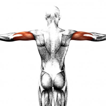 triceps human anatomy