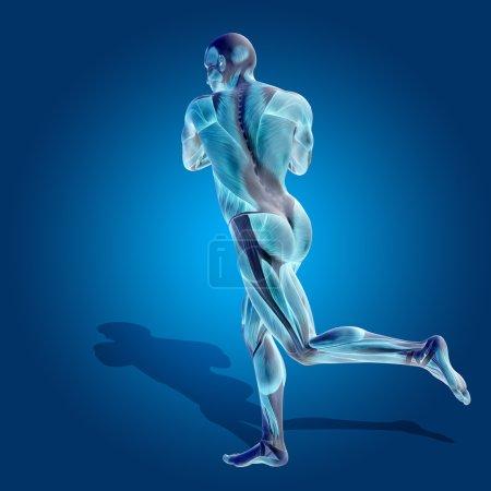 man 3D anatomy body