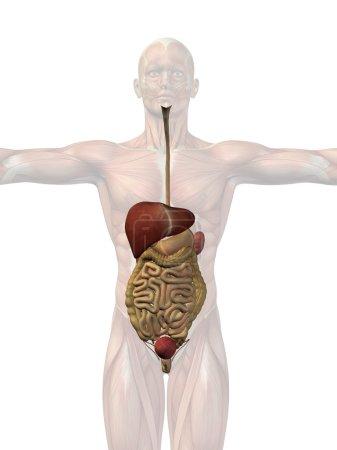 Conceptual anatomical human