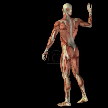 Man with muscles for anatomy designs.