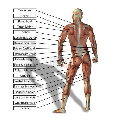 Uman anatomy with text