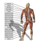 Uman anatomie s textem