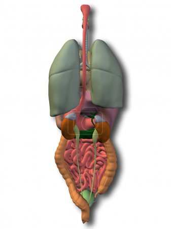 Human  internal abdominal organs