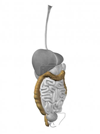 Colon organ and digestive system
