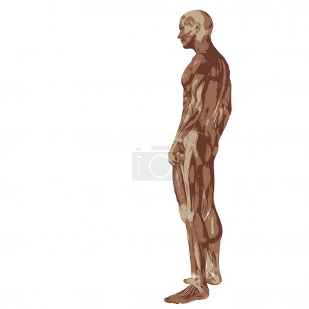 3D human or man with muscles for anatomy