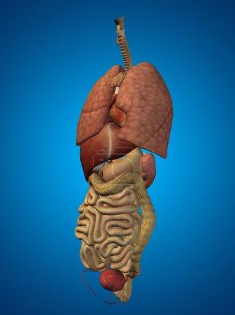 nternal abdominal or thorax organs