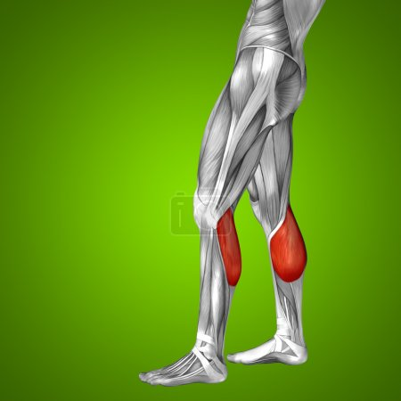 gastrocnemius human lower leg anatomy