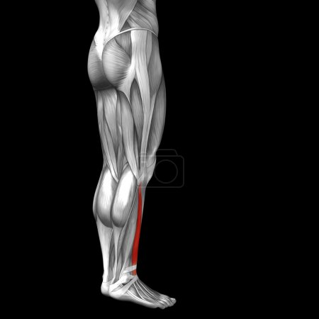 Photo for Concept or conceptual 3D gastrocnemius human lower legs anatomy or anatomical and muscles isolated on black background - Royalty Free Image