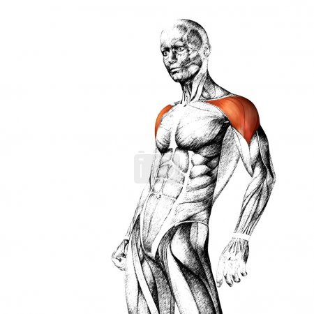 chest human anatomy