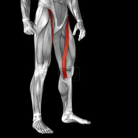 upper legs anatomy