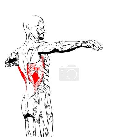 Back human anatomy