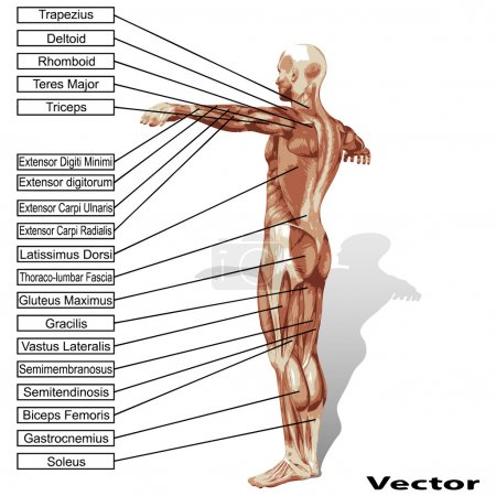 Man anatomy with  text