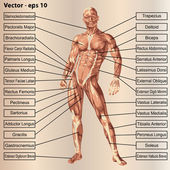 Mužské anatomie člověka se svaly