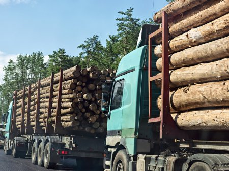 Column timber trucks with logs moving on the road