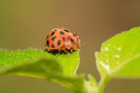 potato ladybird insect