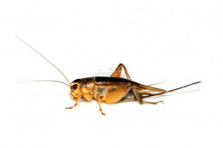 Insects cricket, grasshopper on white background...