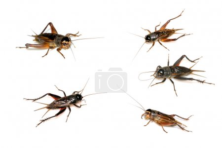 Orthoptera insects, crickets isolated on white...