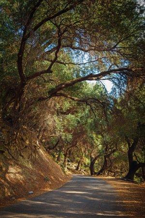 Greek olive grove