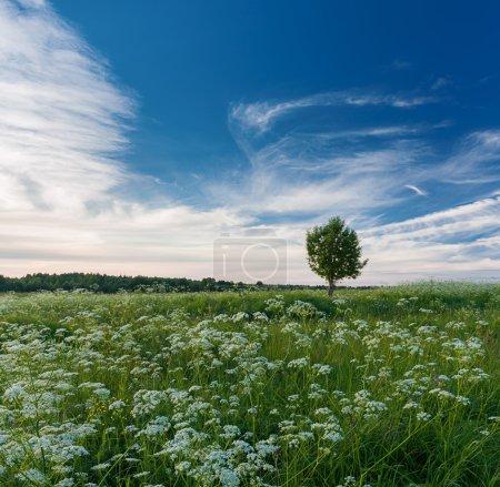 Summer landscape with tree in flowering field