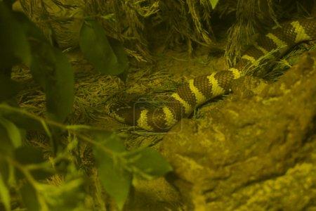 California King Snake - Lampropeltis getula californiae