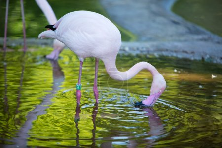 The pink flamingo in a profile in water