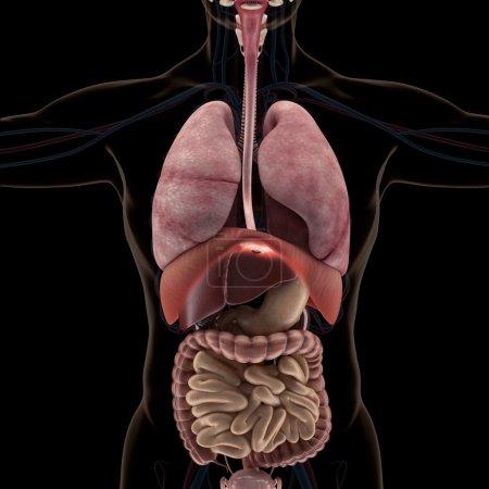 Photo pour Anatomie des organes humains en radiographie. Haute résolution . - image libre de droit