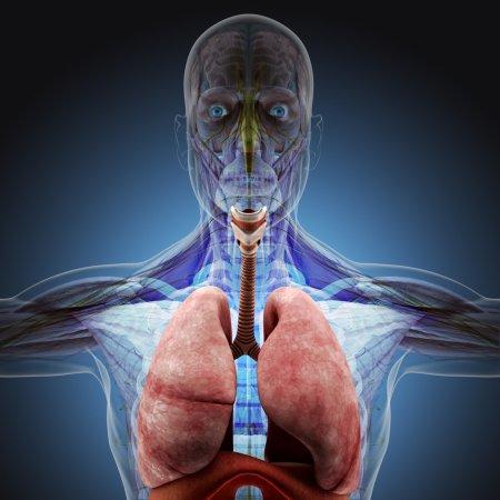 Photo pour Le corps humain (organes) par des rayons X sur fond bleu. Haute résolution. - image libre de droit