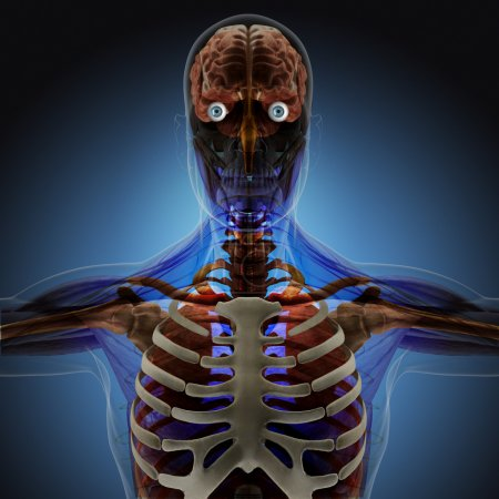 The human body by X-rays on blue background.