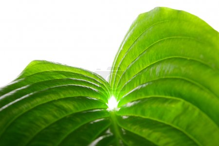 Photo for Green leaf isolated on white - Royalty Free Image