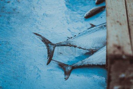 Photo pour Thonidés frais - image libre de droit