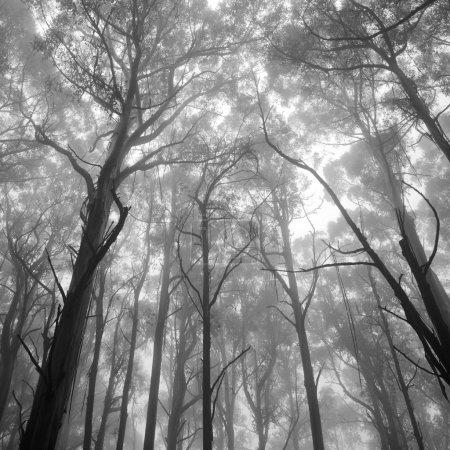Photo pour Vision mystique de la cime des arbres forrest en noir et blanc - image libre de droit