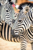 Dva zebra zoo venku